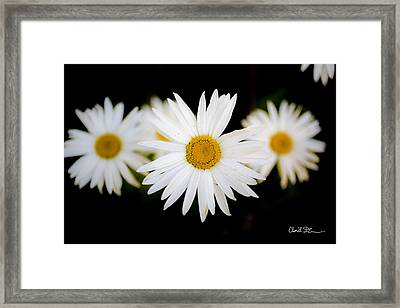 Daisy Trio Framed Print