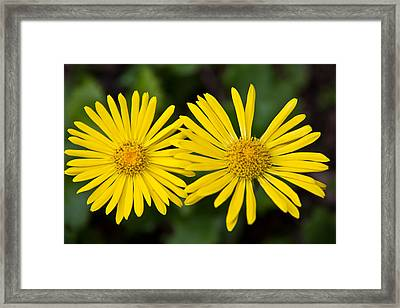 Framed Print featuring the photograph Daisy Twins by Aaron Berg
