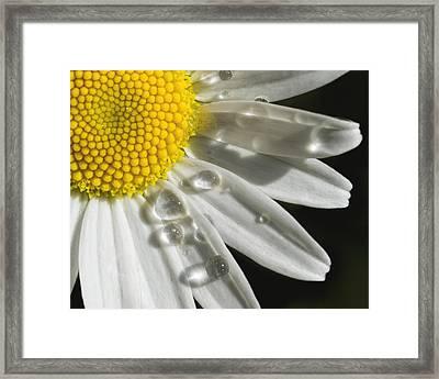 Daisy With Raindrops Framed Print
