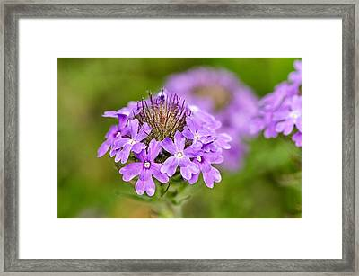 Dakota Verbena Framed Print
