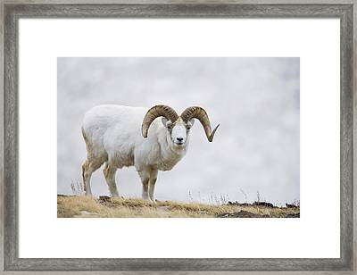 Dall Sheep Ram On Sheep Mountain Framed Print by Milo Burcham
