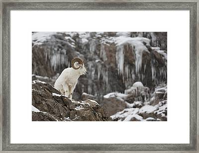Dall Sheep Ram Stands On A Rocky Cliff Framed Print by Doug Lindstrand
