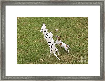 Dalmatian & Jack Russell Framed Print by Jean-Michel Labat