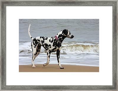 Dalmatian By The Sea Framed Print by Gordon Auld