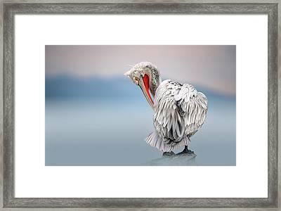 Dalmatian Pelican At Dawn Framed Print