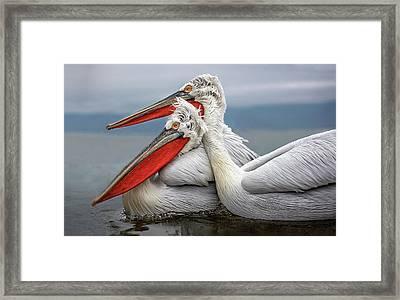 Dalmatian Pelicans Framed Print