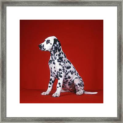 Dalmatian Puppy Sitting Red Background Framed Print