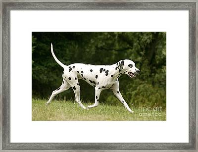 Dalmatian Running Framed Print by Jean-Michel Labat