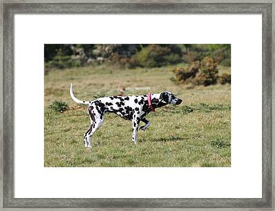 Dalmation Pretending To Be A Pointer Framed Print by Gordon Auld