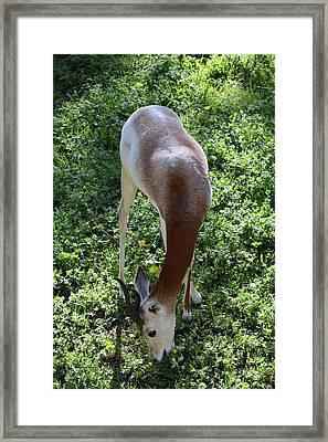 Dama Gazelle - National Zoo - 011310 Framed Print