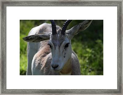 Dama Gazelle - National Zoo - 011311 Framed Print