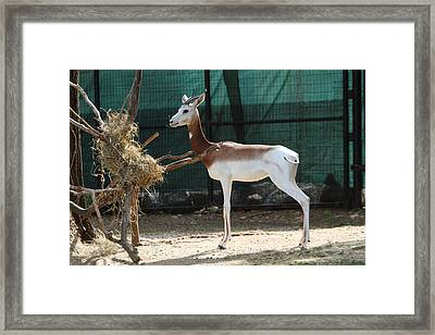 Dama Gazelle - National Zoo - 01135 Framed Print