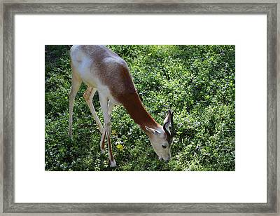 Dama Gazelle - National Zoo - 01137 Framed Print by DC Photographer