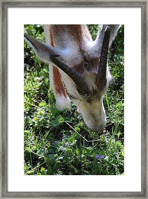 Dama Gazelle - National Zoo - 01138 Framed Print by DC Photographer