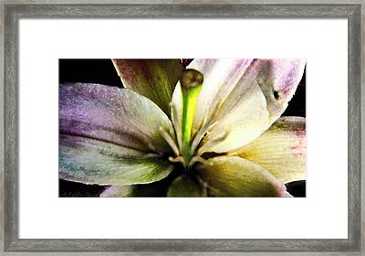 Damaged Lily  Framed Print by Danielle  Parent
