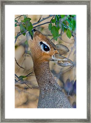 Damara Dik-dik Madoqua Kirkii Feeding Framed Print by Panoramic Images