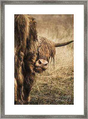 Highland Cow Damn Fleas Framed Print