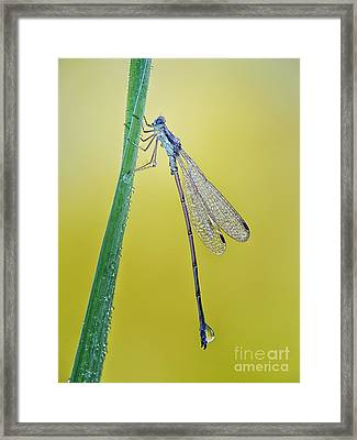 Damsel In The Morning Framed Print by Todd Bielby