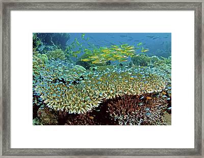 Damselfish (pomacentridae Framed Print