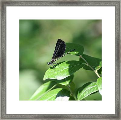 Framed Print featuring the photograph Damselfly  by Karen Silvestri
