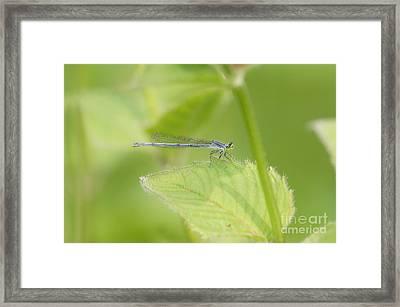 Damselfly On Leaf Framed Print