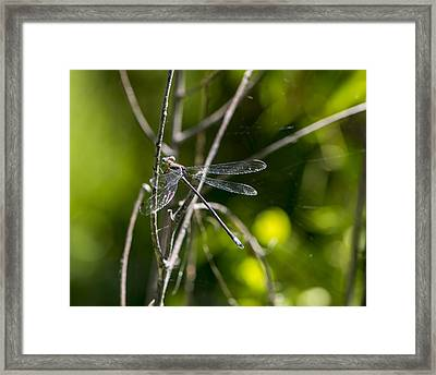 Damselfly Framed Print