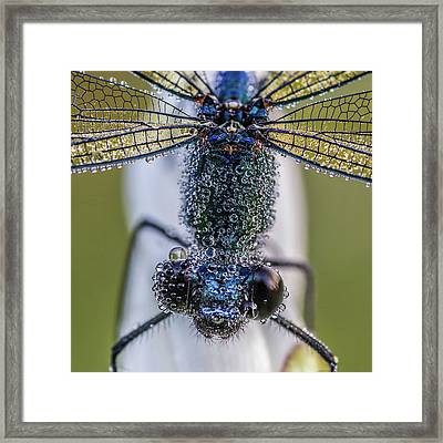 Damselfly With Drops Framed Print