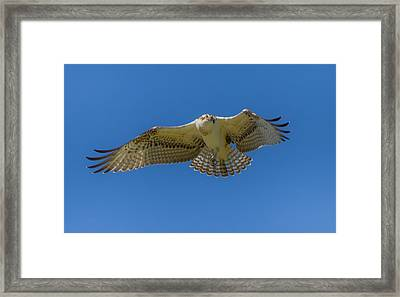 Dance Of Osprey Framed Print by Laura Bentley