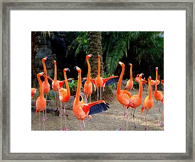 Dance Of The Flamingos Framed Print by Phyllis Beiser