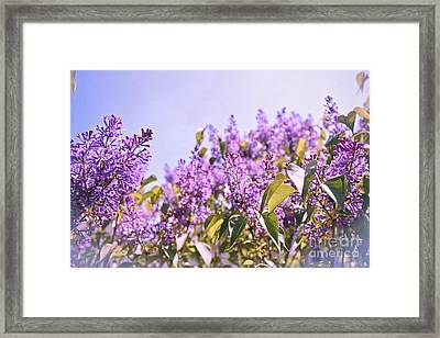 Dance Of The Lilacs Framed Print by Colleen Kammerer