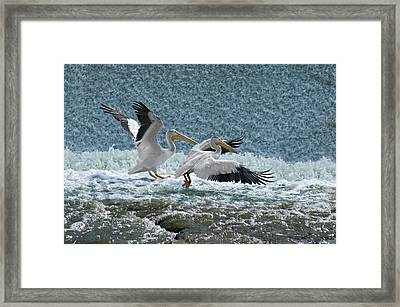 Dance Of The Pelicans Framed Print by Judy  Johnson