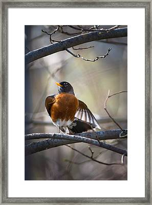 Dance Of The Robin Framed Print