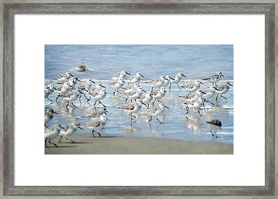 Dance Of The Sandpipers Framed Print