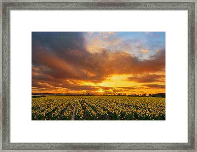Dances With The Daffodils Framed Print by Ryan Manuel