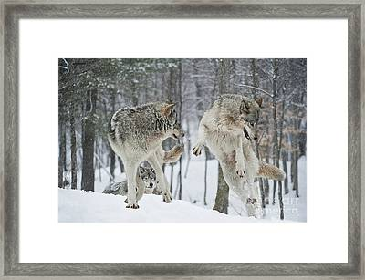Framed Print featuring the photograph Dances With Wolves by Wolves Only