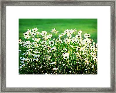 Dancing Daisies Framed Print