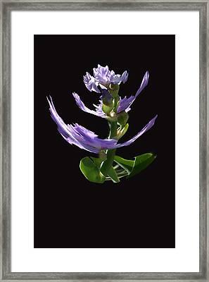 Dancing Iris 1 Framed Print