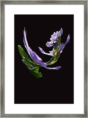 Dancing Iris 2 Framed Print