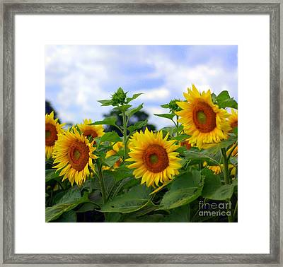 Dancing Sunflowers Framed Print by Kathleen Struckle