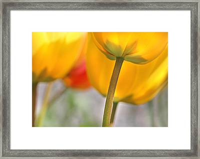 Dancing Yellow Tulip Flowers Framed Print by Jennie Marie Schell