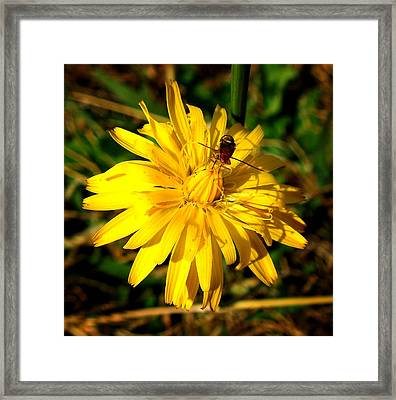 Dandelion And Bug Framed Print by Pete Trenholm