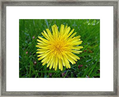 Framed Print featuring the photograph Dandelion And Spider by Laurie Tsemak