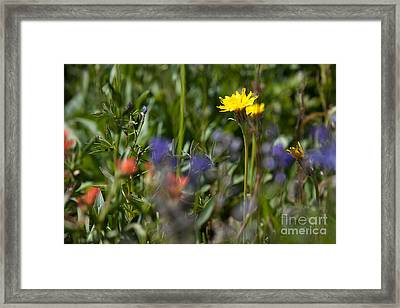 Dandelion And Wildflowers Framed Print by Cindy Singleton