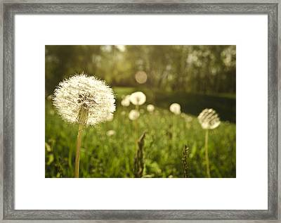 Dandelion Basking In The Sun Framed Print