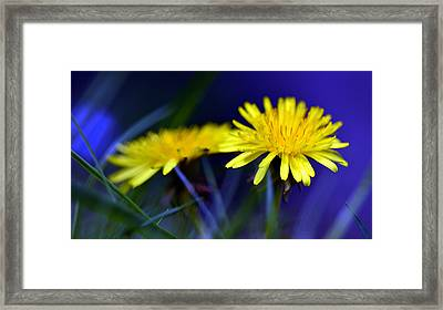 Dandelion Blues Framed Print