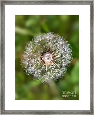 Dandelion Framed Print by Carsten Reisinger