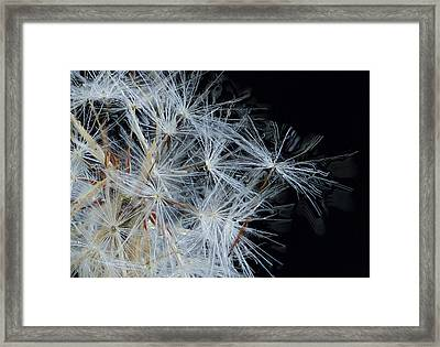 Dandelion Close Up Framed Print by Jean Noren