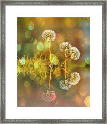 Dandelion Delight Framed Print