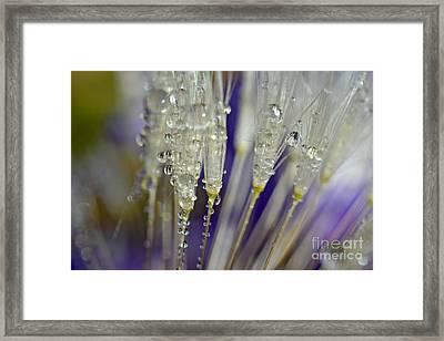 Dandelion Dew Framed Print