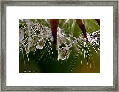Dandelion Droplets Framed Print by Suzanne Stout